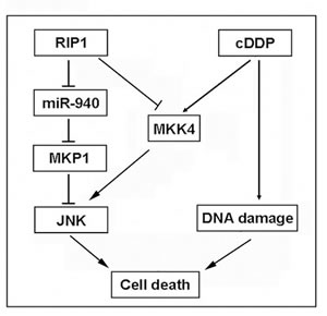 A model of RIP1 in regulation cisplatin-induced apoptosis.