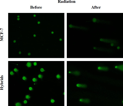 Images after alkaline SCGE demonstrating MCF-7 cells and macrophage:MCF-7 cells hybrids before and after radiation.
