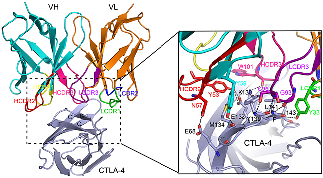 Detailed interactions within the interface of ipilimumab-scFv/CTLA-4 complex.