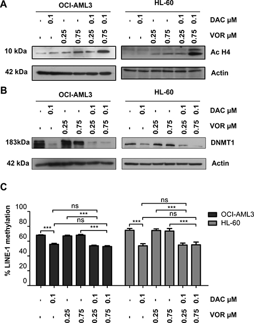 Combined Decitabine and Vorinostat treatment enhances histone acetylation and further decreased DNMT1 expression in AML cell lines.