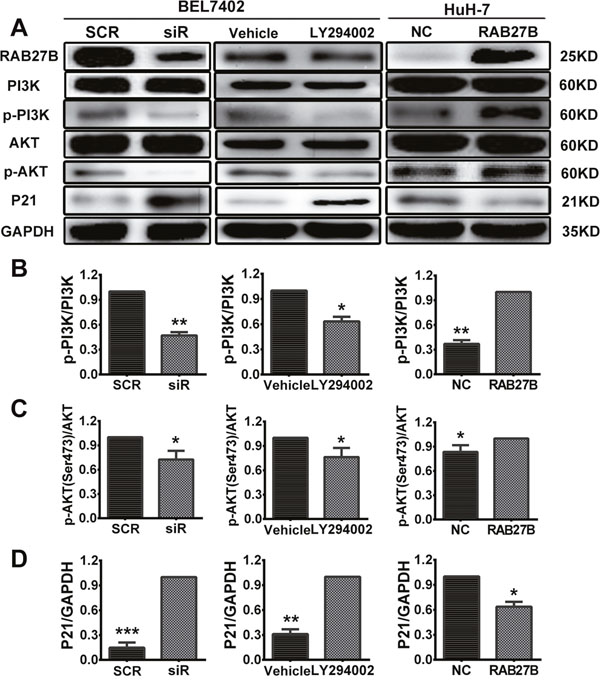 Knockdown of RAB27B inhibits the PI3K/AKT pathway and stabilizes p21waf/Cip1 to suppress HCC cell proliferation.