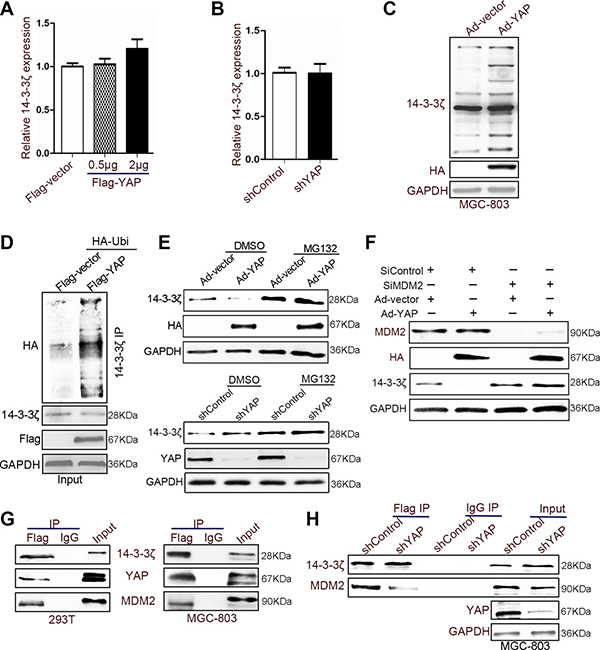 YAP recruited MDM2 to reduce the expression of 14-3-3ζ.