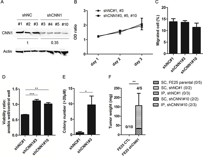 Knock down of CNN1 in FE25 cells enhanced anoikis-resistance, colony formation and xenograft tumor formation but not the cell motility.