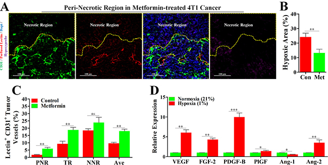Metformin inhibited angiogenesis in peri-necrotic region by impeding HIF-1α-induced expressions of pro-angiogenic factors.