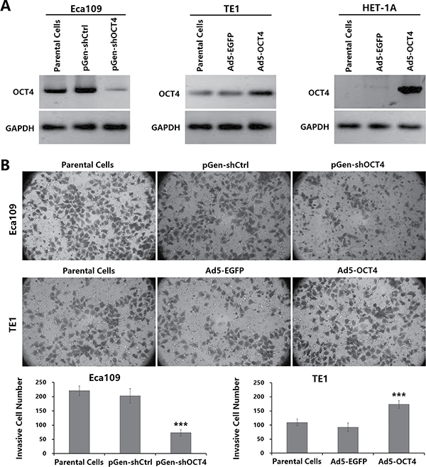 OCT4 overexpression enhanced the invasion activity of ECC cells.