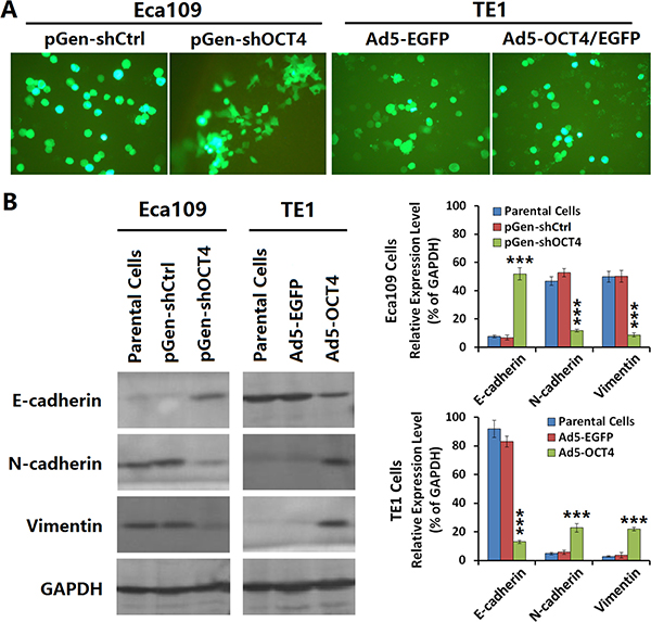 OCT4 induced the epithelial-mesenchymal transition (EMT) in ECC cells.