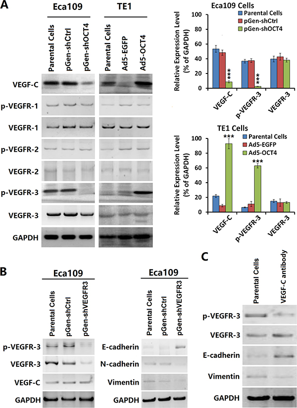OCT4 increased VEGF-C expression and activated the VEGFR-3 signaling pathway.