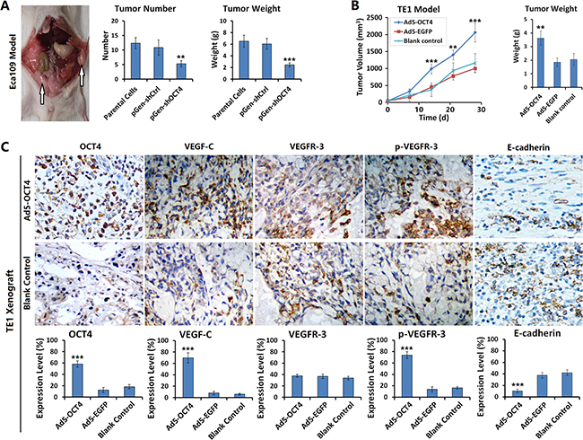 OCT4 promoted ECC xenograft growth and metastasis in nude mice.