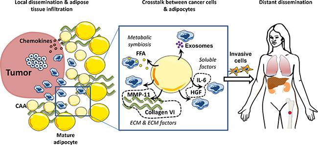 Adipocytes promote tumor invasion and metastasis.