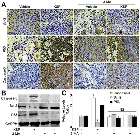 KSP induces cell apoptosis of gastric cancer in mice.