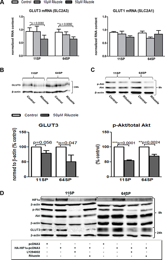 Influence of riluzole on GLUT3.
