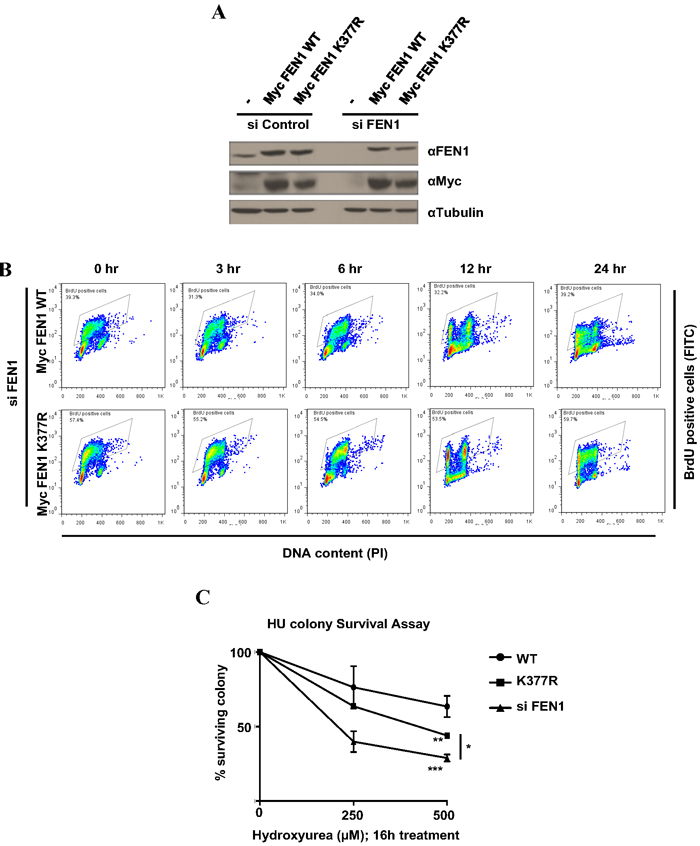 FEN1 K377 methylation is essential for cell survival to replicative stress.