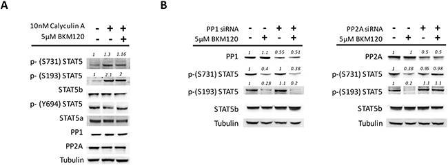 PP2A is involved in the de-phosphorylation of STAT5 serine residues in JAK2V617F mutated cells.