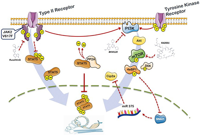 Schematic representation of the role of PI3K/mTOR signaling and PP2A/CIP2A axis in the phosphorylation of STAT5b in JAK2V617F mutated cells.