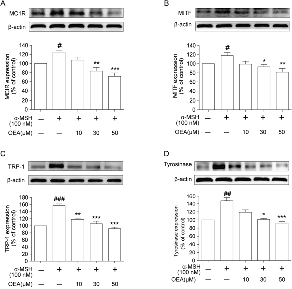 Effect of OEA on the expression of melanogenesis-related proteins in α-MSH-stimulated B16 cells.