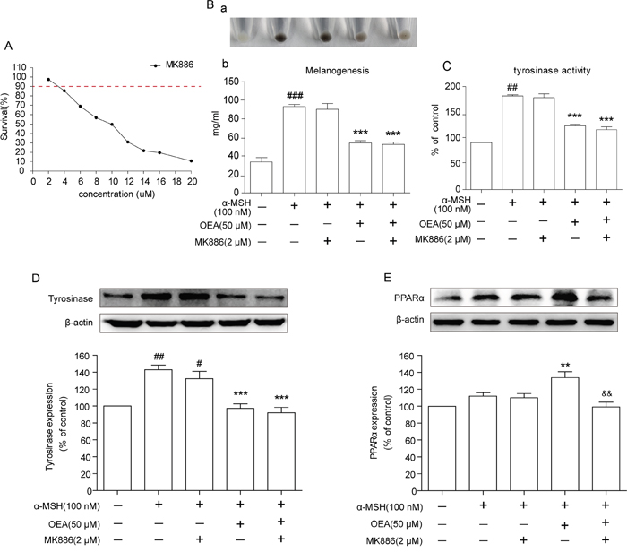 Effects of OEA on the PPARα signaling in α-MSH-stimulated B16 cells.