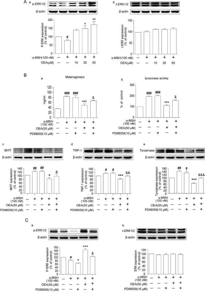Effects of OEA on the ERK signaling pathway in α-MSH-stimulated B16 cells.