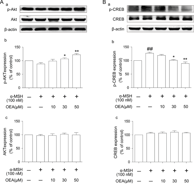 Effect of OEA on Akt and CREB signaling pathways in α-MSH-stimulated cells.