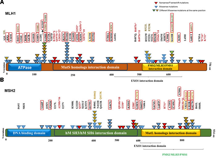 MLH1 and MSH2 protein domains annotated with somatic non-synonymous alterations observed in MSI-H CRCs from the COSMIC database.