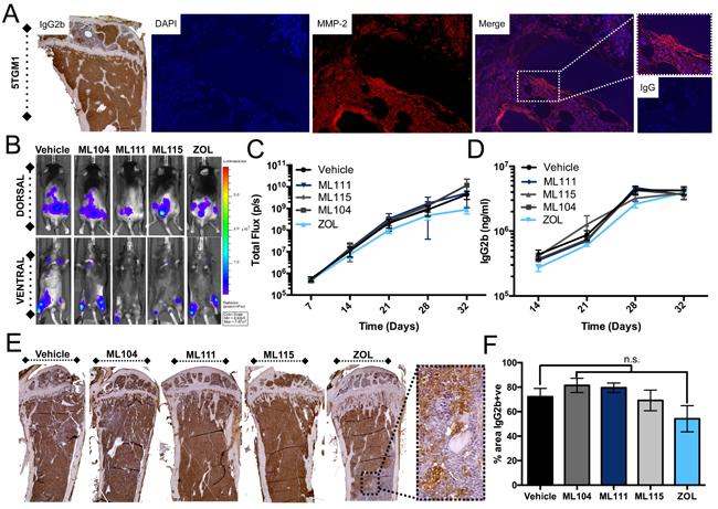 BMMPIs do not limit 5TGM1 growth