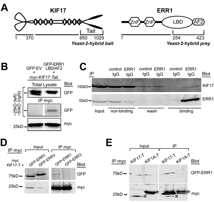 KIF17 interacts selectively with ERR1.