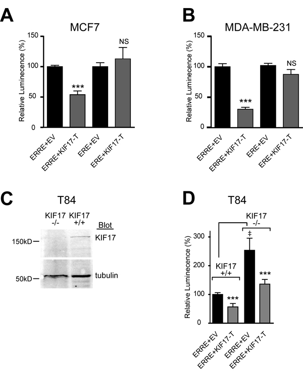 KIF17-Tail inhibits transcriptional activity of ERR1 on the ERRE, but not the ERE, in both ER-positive and ER-negative breast cancer cells.