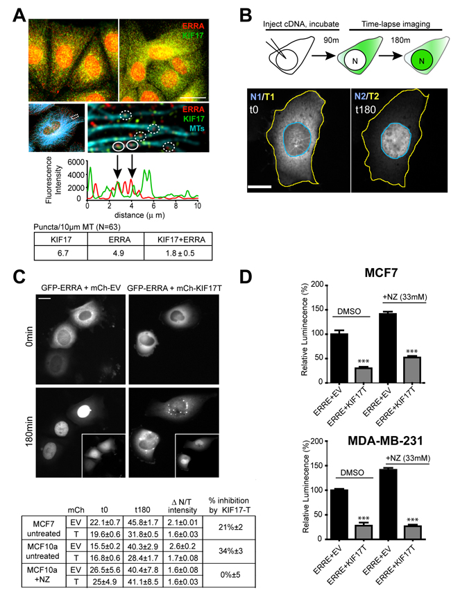 KIF17-Tail attenuates nuclear accumulation of ERR1 in both ER-positive and ER-negative breast cancer cells.