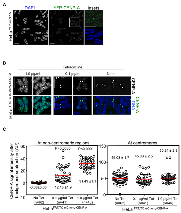 Overexpressed CENP-A mislocalizes to chromosome arms in human cells.