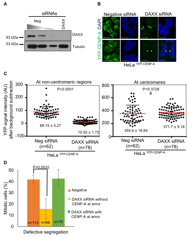 Depletion of DAXX prevents mislocalization of CENP-A and rescues chromosome segregation defects in CENP-A overexpressing cells.