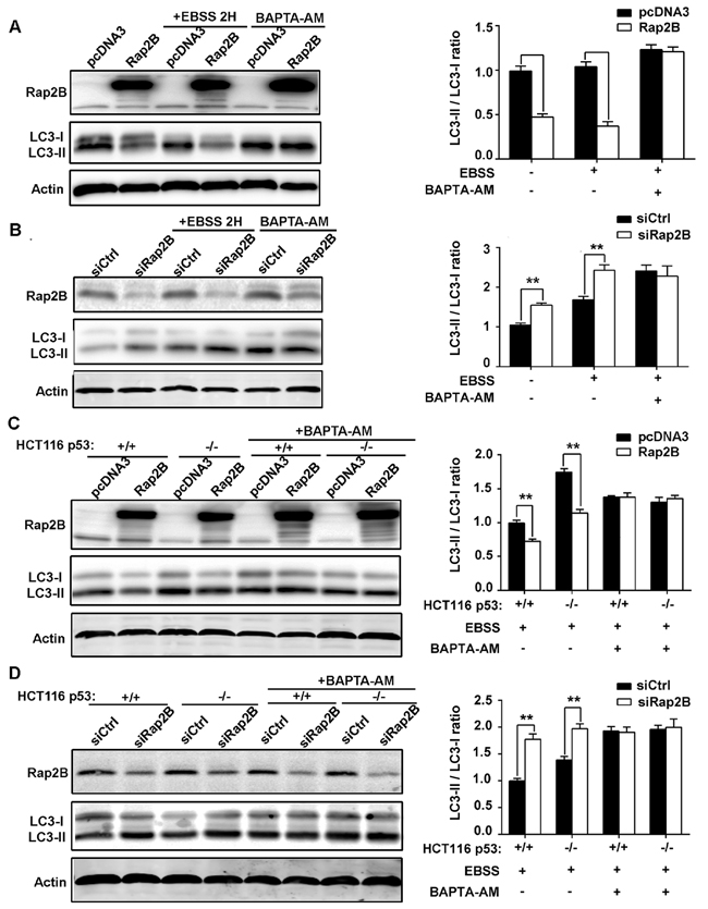 p53 can decrease the LC3 protein level through Rap2B, and BAPTA-AM can disrupt the inhibition.