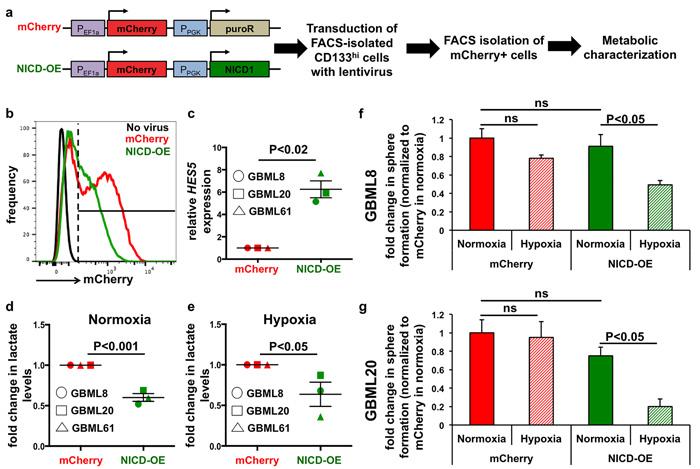 Ectopic Notch activation reprograms metabolism.