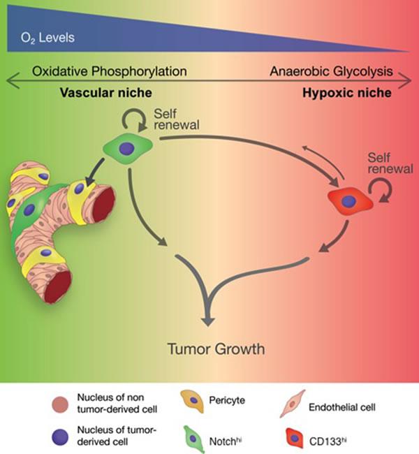 Schematic summarizing the role of distinct GSCs in tumor progression.