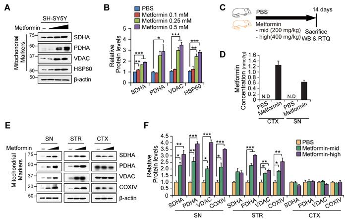 Nigrostriatal region-specific increase of mitochondrial proteins by metformin.