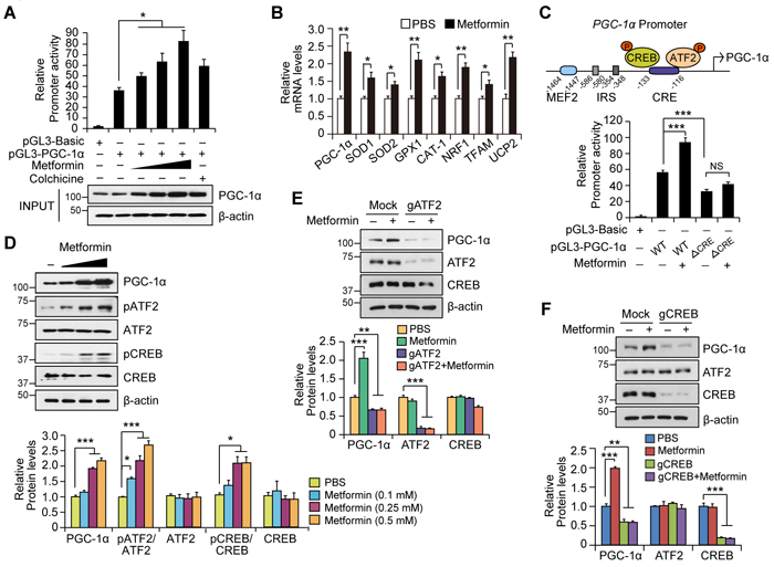 Metformin increases PGC-1α expression by activating the ATF2/CREB pathway.