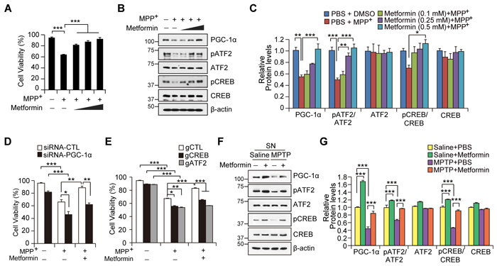 Metformin-mediated cell protection is dependent on PGC-1α induction.