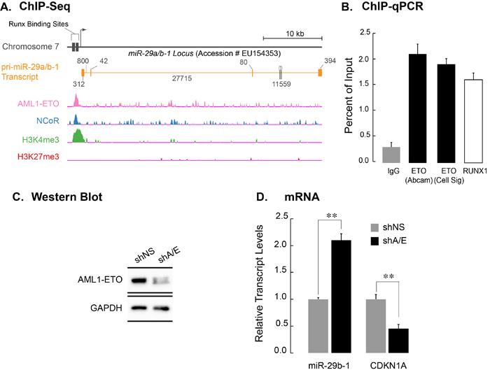 AML1-ETO occupies the miR-29a/b-1 locus and transcriptionally down regulates the miR-29a/b-1 primary transcript.