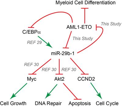 AML1-ETO and miR-29b-1 form a regulatory circuit that modulates leukemic phenotype.
