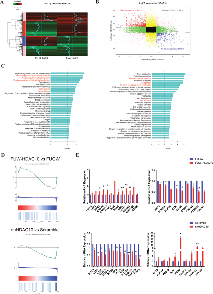 HDAC10 significantly regulates angiogenesis-related genes.