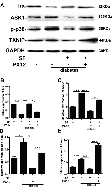The mechanism by which Trx delays retina neuronal cell degeneration in diabetic mice.