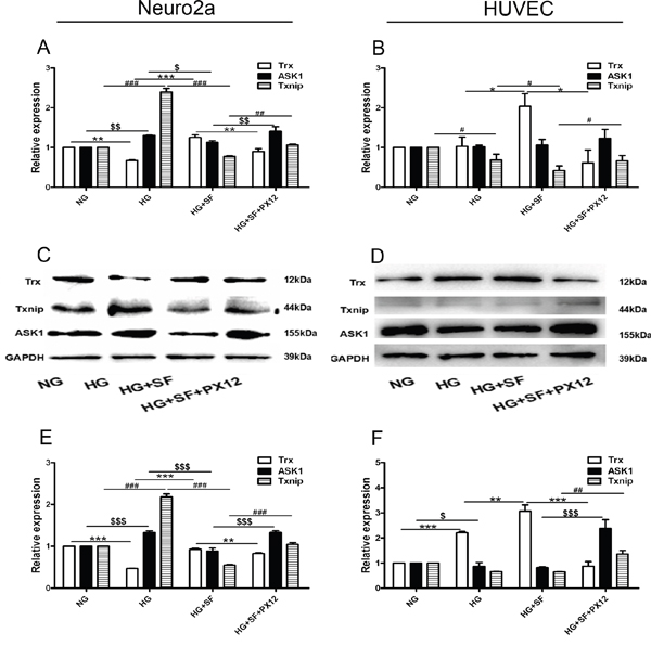 The mechanism by which Trx delays neuropathy under HG conditions at the mRNA and protein levels in vitro.