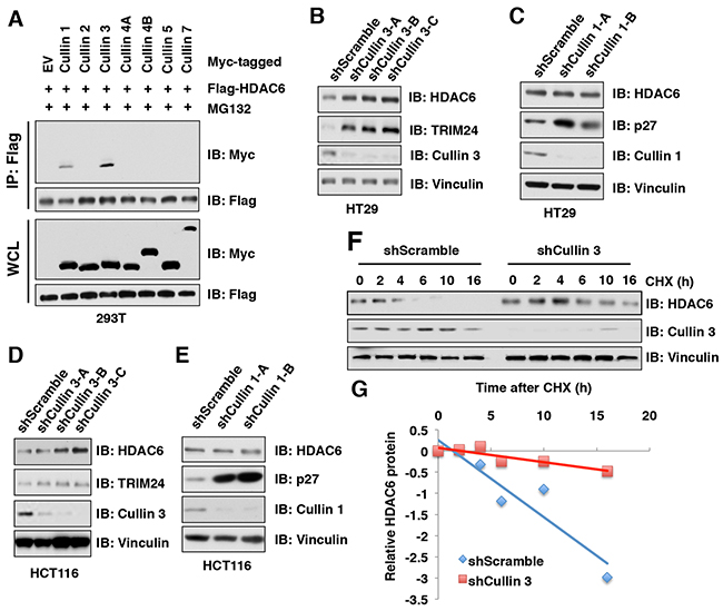 HDAC6 protein stability is negatively regulated by the Cullin 3 family E3 ligase.