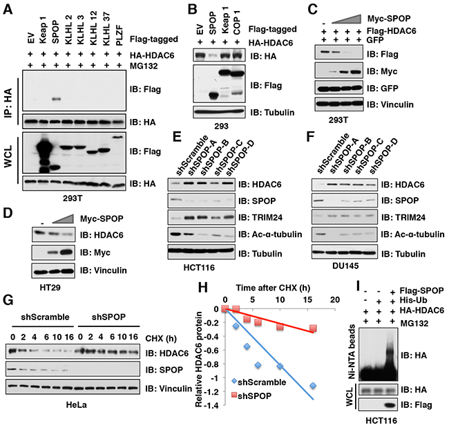 SPOP, but not other Cullin 3 family adaptor proteins, specifically interacts with and promotes HDAC6 poly-ubiquitination and degradation.