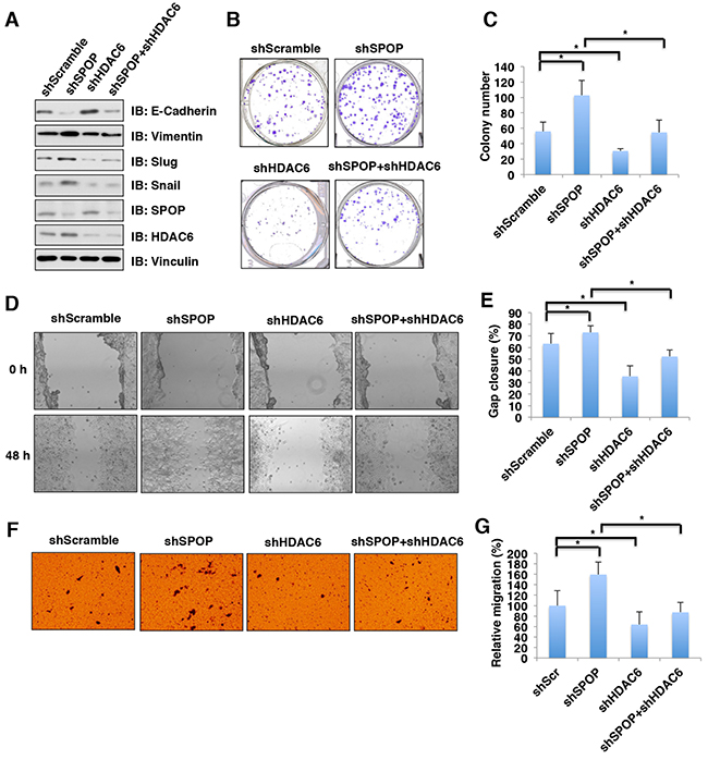 Depletion of SPOP enhances the cellular proliferation and migration, which can be reversed partly by additional depletion of HDAC6 in colon cancer cells.