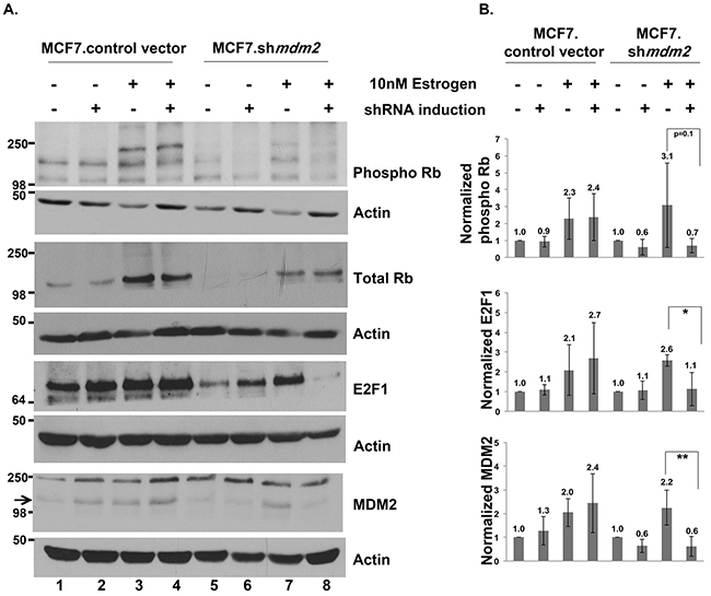 In ER+ MCF7 breast cancer cells MDM2 influences estrogen mediated cell proliferation through the Rb-E2F1 pathway.