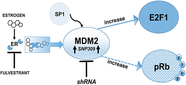 Schematic representation of MDM2 signaling pathway showing a p53-independent function of MDM2 is required for estrogen mediated breast cancer proliferation and disruption in 3D mammary architecture.