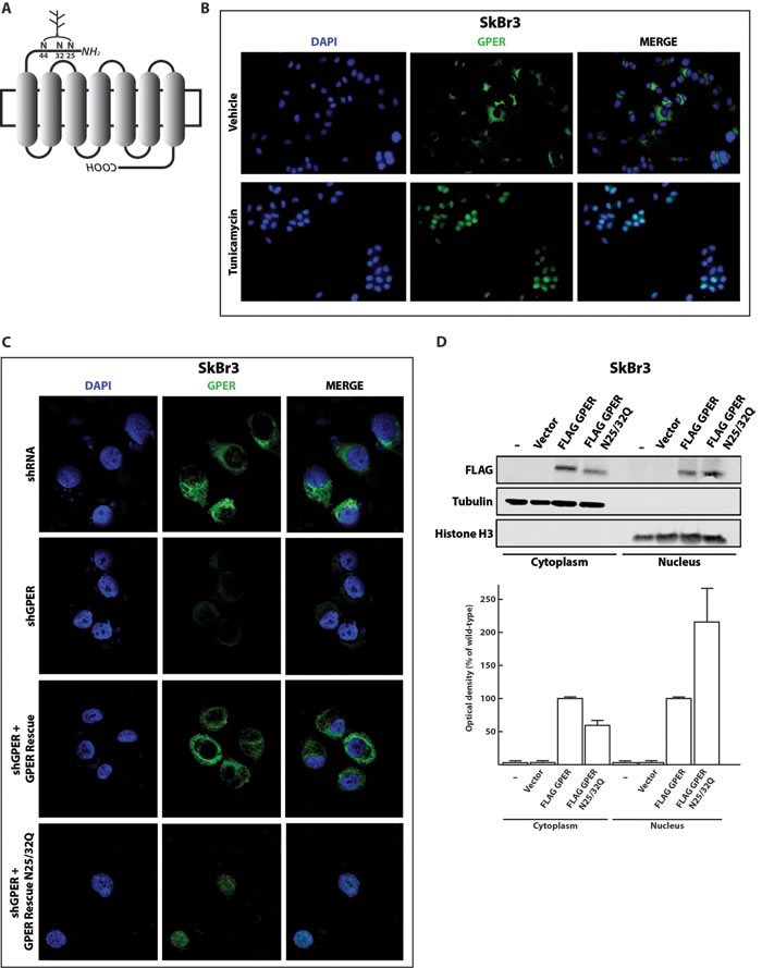 Inhibition of N-linked glycosylation induces the nuclear accumulation of GPER.