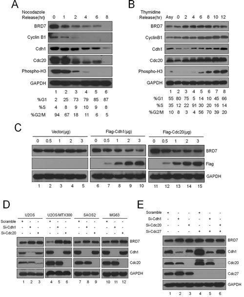 Fig 1: BRD7 is a substrate of APC/C E3 ligase during mitotic exit in osteosarcoma cells.