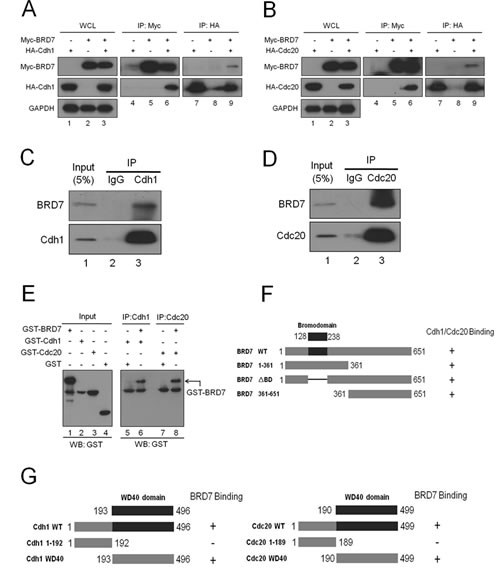 Fig 3: BRD7 interacts with Cdh1 or Cdc20.