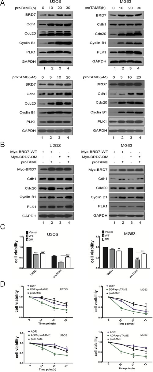 Fig 5: Inhibition of the APC/C E3 complex suppresses cell proliferation through the APC/C-BRD7 pathway in osteosarcoma.