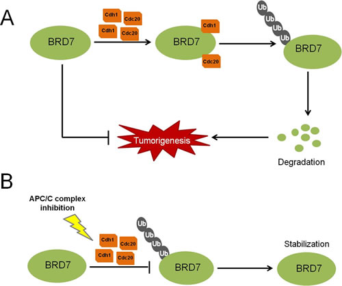 Fig 7: A proposed model for the regulation of BRD7 by APC/C E3 ligase in human osteosarcoma.